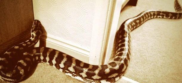 Serpente domestico