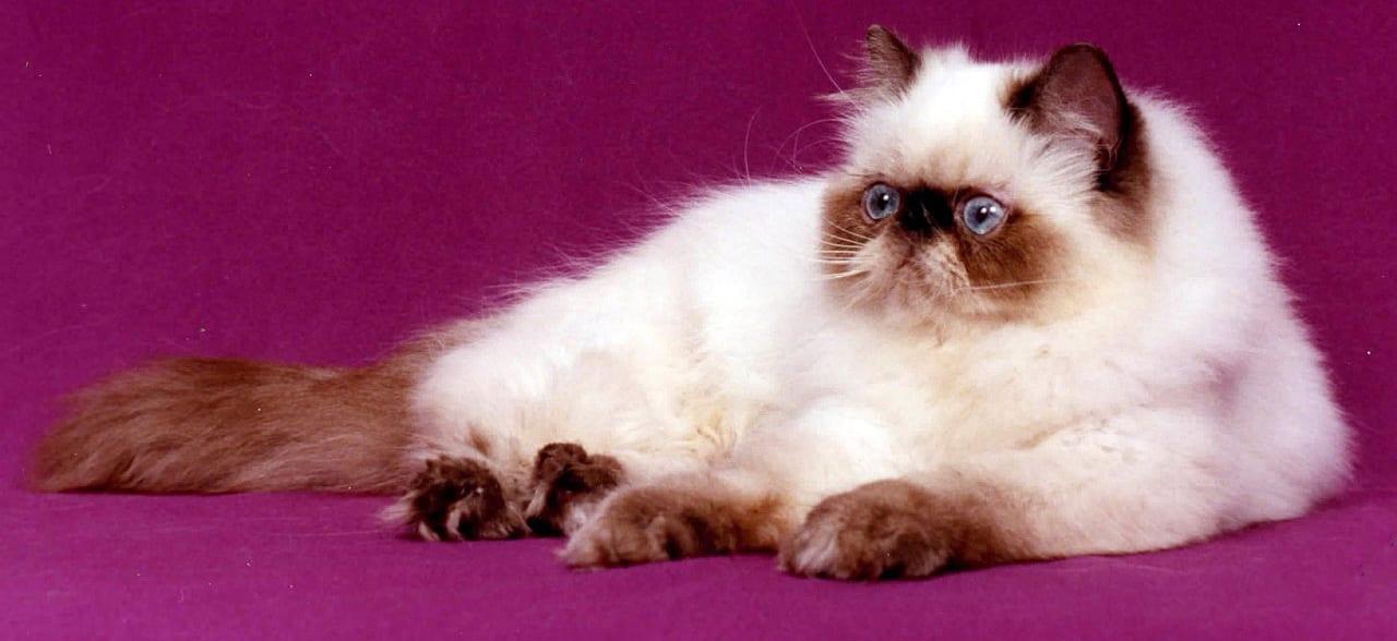 Il Gatto Himalayano Un Simpatico Felino Alla Ricerca Di Coccole