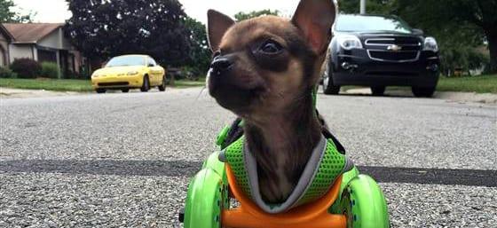 Chihuahua Disabile Si Muove Grazie Alla Stampa 3d Di Una