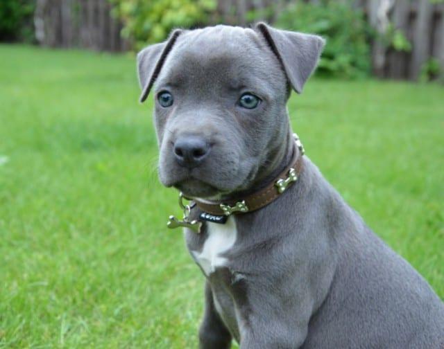 American Staffordshire Terrier Eroe Coraggioso Che Fa Di