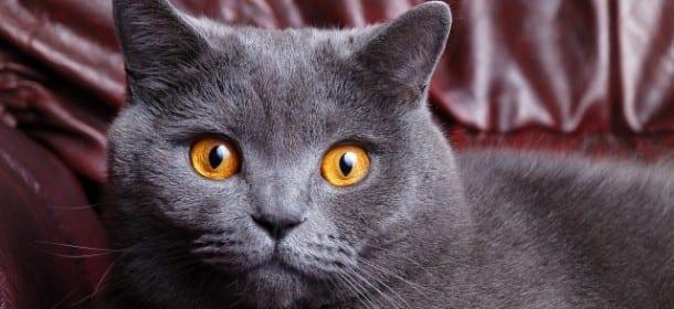 Certosino Il Gatto Che Sorride E Coccola Il Padrone Velvet Pets