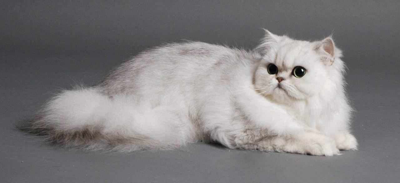 Gatto Persiano Varietà Chinchilla Il Più Raffinato Della Sua Specie