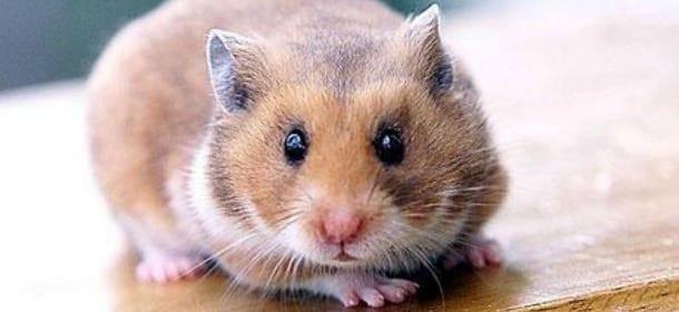Criceti: i piccoli animali tanto amati dai più piccoli