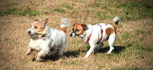 Cani: 5 razze non facili come sembrano