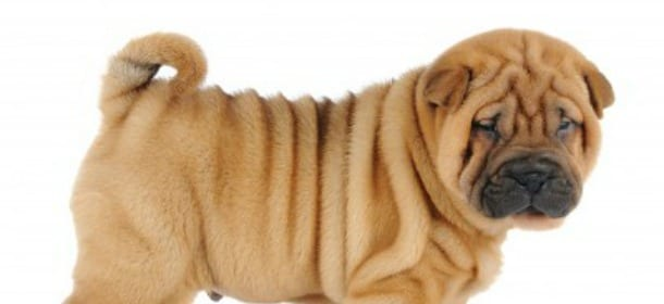 Shar Pei, mille pieghe d\'amore per un cane unico - Velvet Pets ...