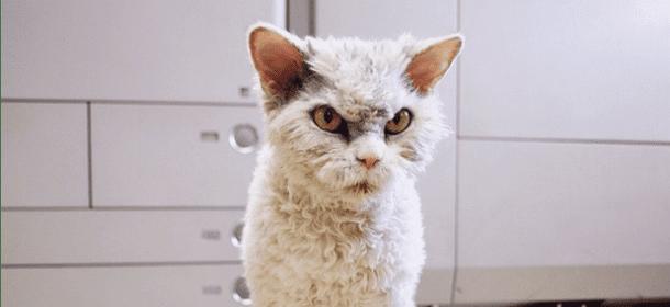 Pompous Albert Il Gatto Riccio E Sempre Arrabbiato Che Ha