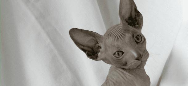 Sphynx Il Gatto Senza Peli Che Crede Di Essere Un Cane Velvet