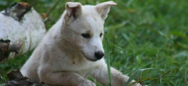 Canaan Dog, il cane primitivo che ama vivere in famiglia