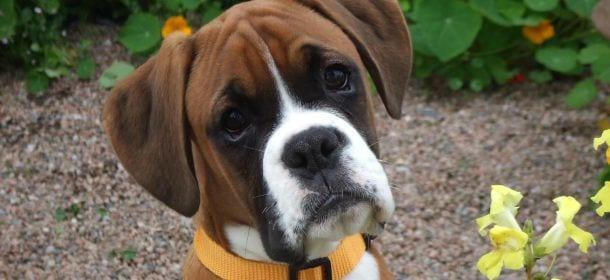 Boxer: 5 cose che (quasi) nessuno sa di loro