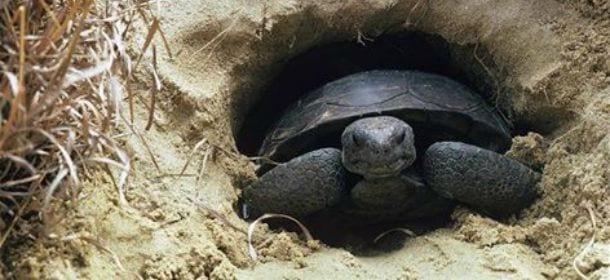 La tartaruga va in letargo anche a casa bastano un for Contenitore per tartarughe