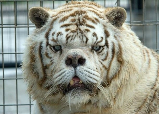 La vera storia di kenny la tigre bianca che non aveva la for Disegni delle tigri