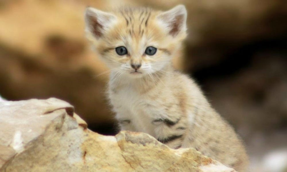 il gatto della sabbia un eterno cucciolo che rischia l