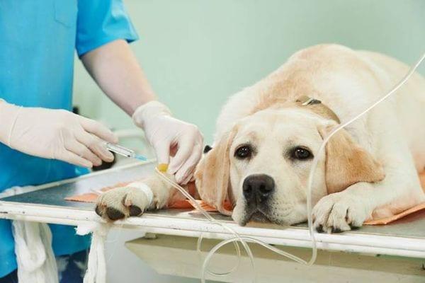 L'epatite virale canina: diagnosi, terapia e prevenzione