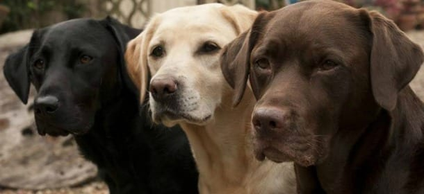 """Perché i Labrador hanno sempre fame? La """"colpa"""" è di un gene"""
