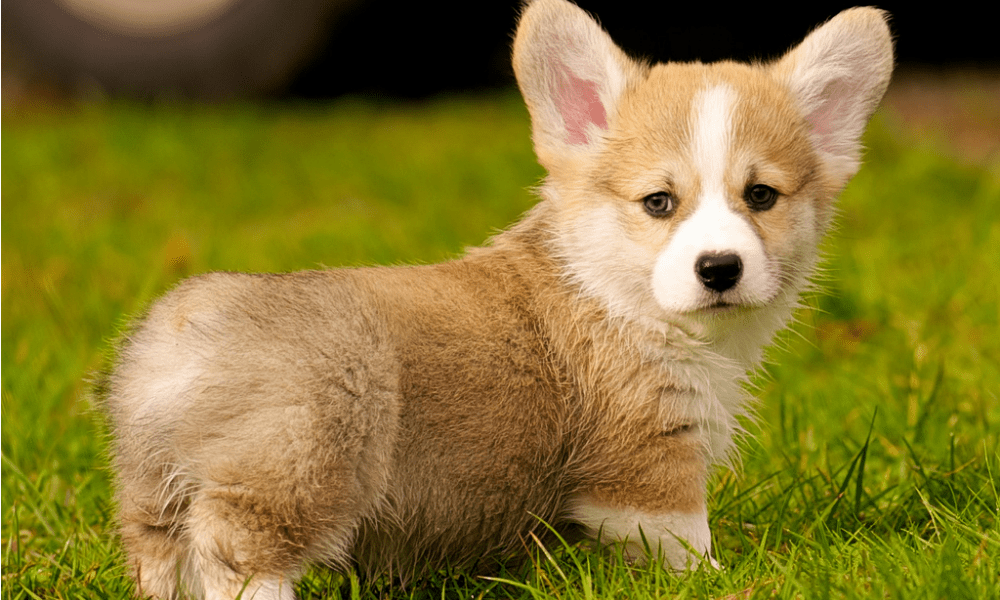 Pictures Of Corgi Dogs