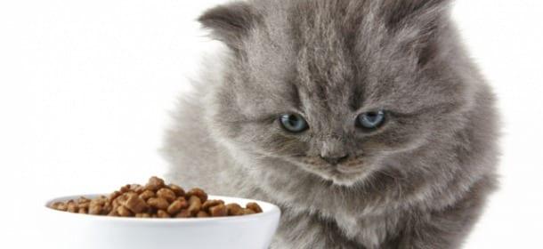 Quando il gatto non mangia cosa fare e a chi rivolgersi for Cosa mangia il gatto