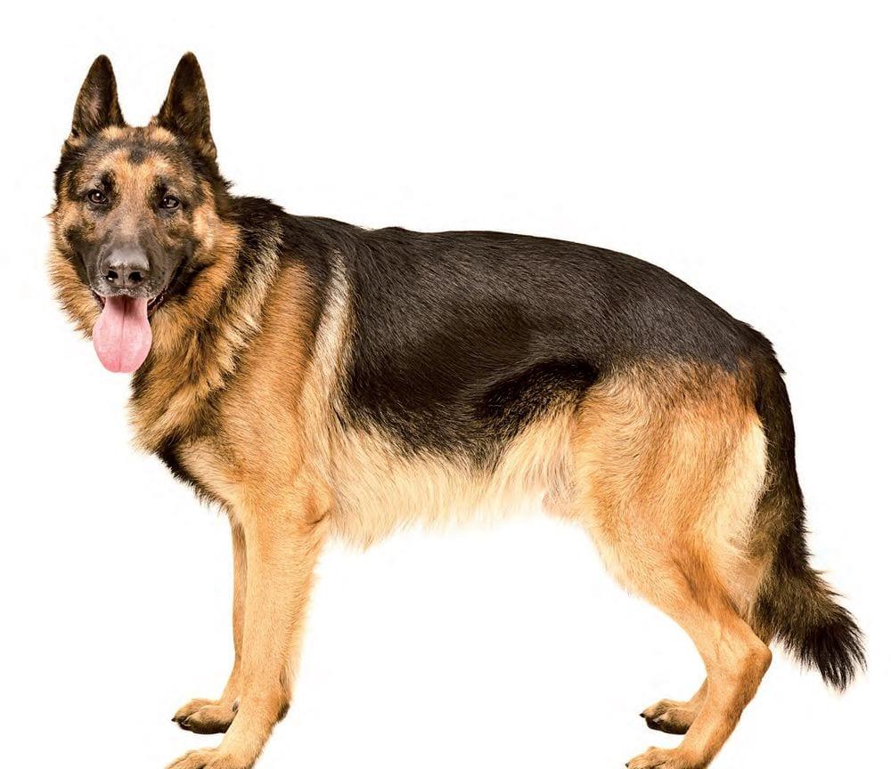 L esperto risponde la displasia dell anca nel cane for Displasia anca cane sintomi