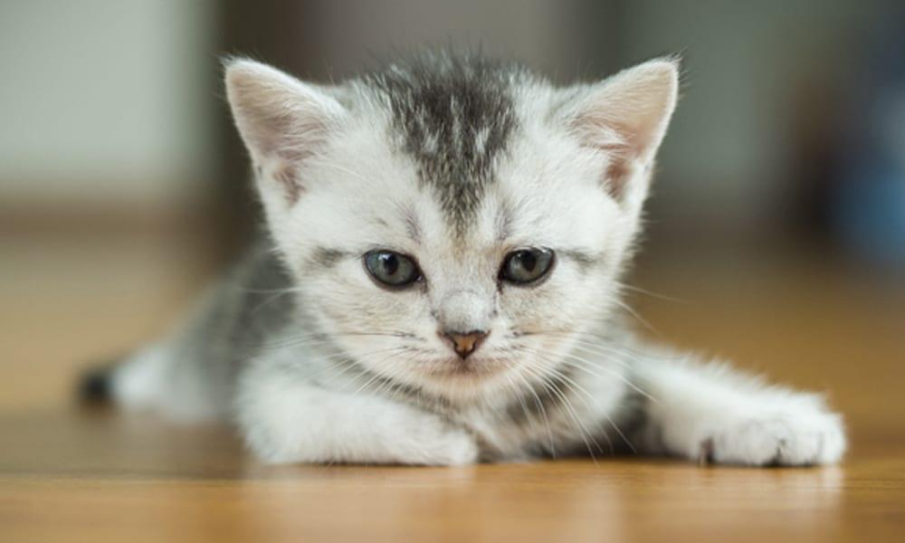 I gatti portano alla pazzia il nuovo studio che fa - Che malattie portano i gatti ...