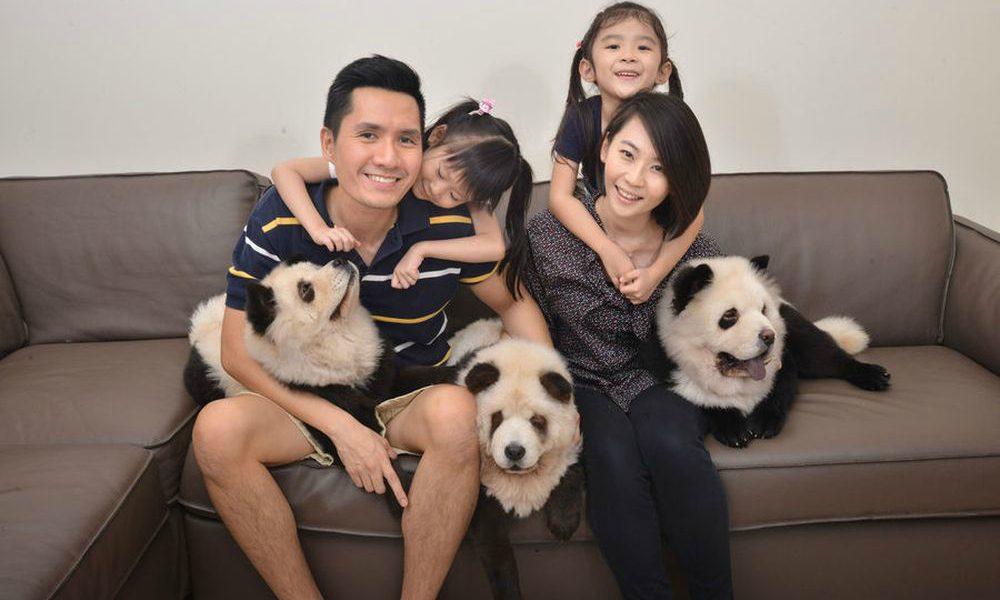 Pandog: il cane identico a un panda [VIDEO]