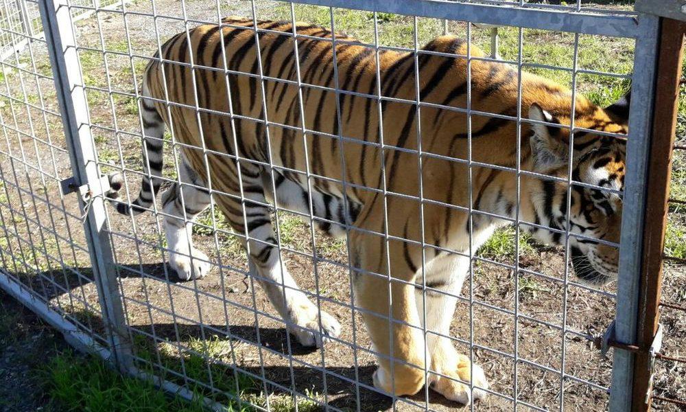 Sequestrati animali al Circo Orfei. Erano in condizione pietosa
