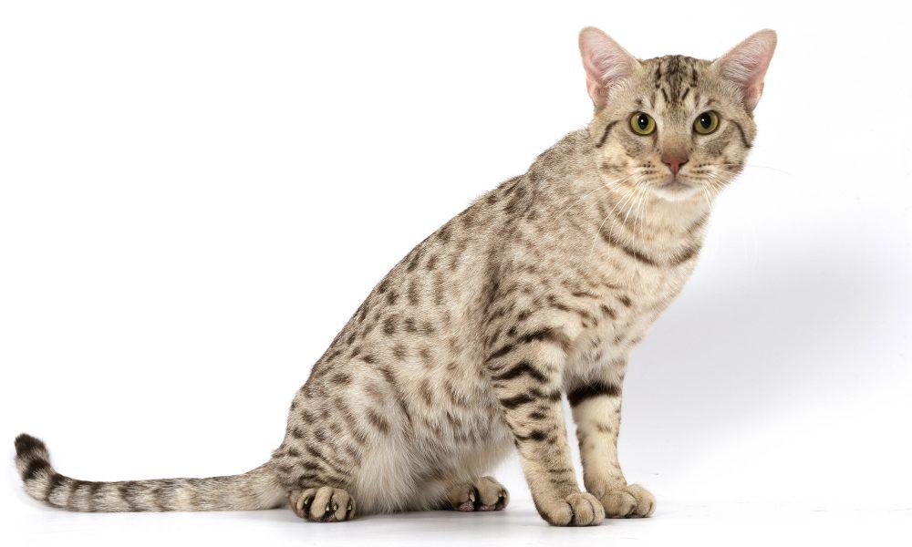 Ocicat: il gatto che non ama stare da solo