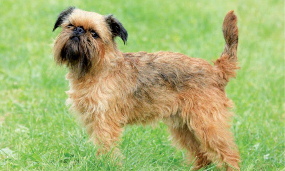 Griffone di Bruxelles: il cane dall'espressione umana