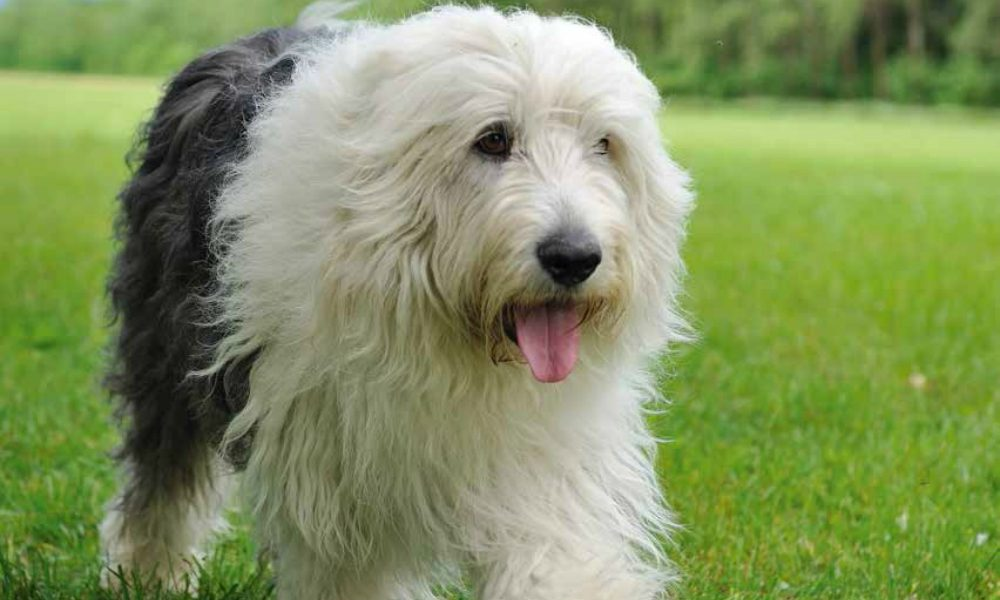 Bobtail: un cane socievole e super obbediente