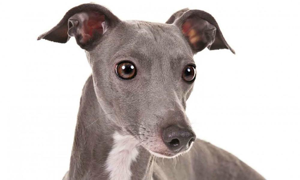 Greyhound: il cane da corsa per eccellenza