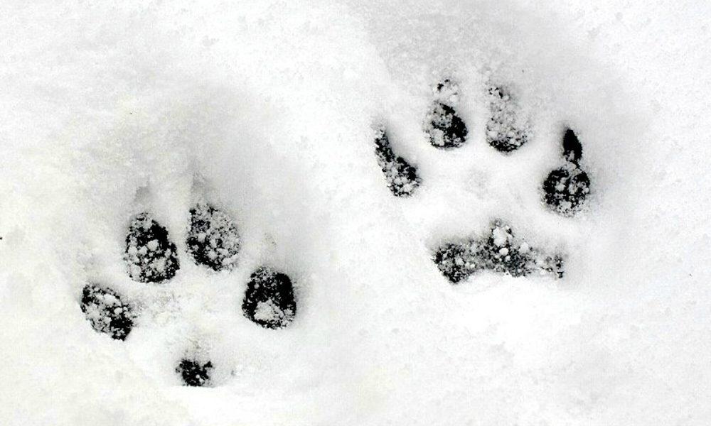 """""""L'esperto risponde"""": Come proteggere le zampe del cane dalla neve e dal gelo"""