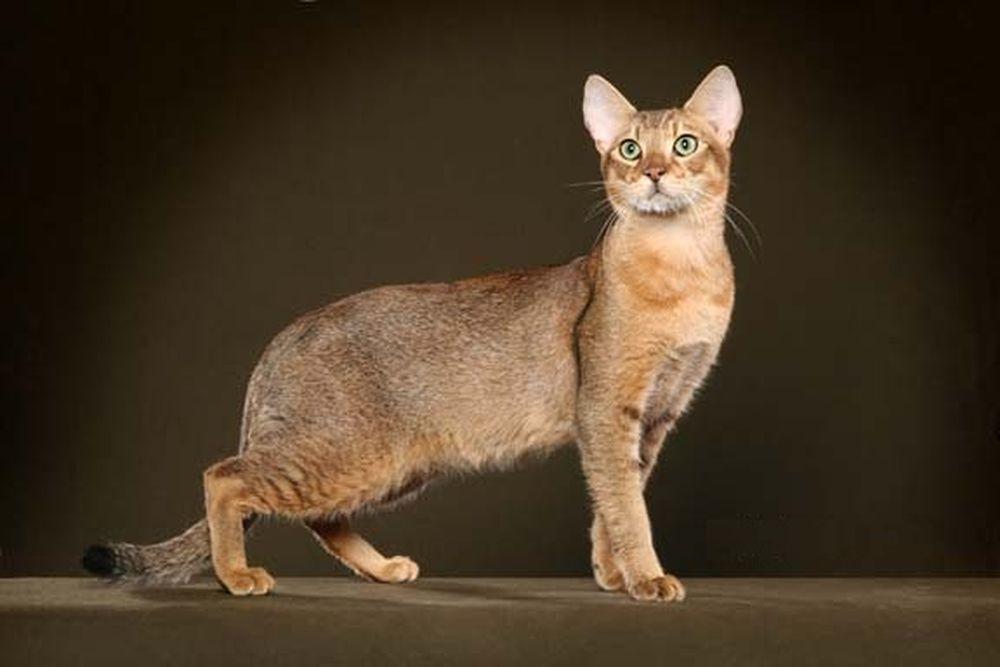 Chausie: a metà tra gatto domestico e gatto della giungla