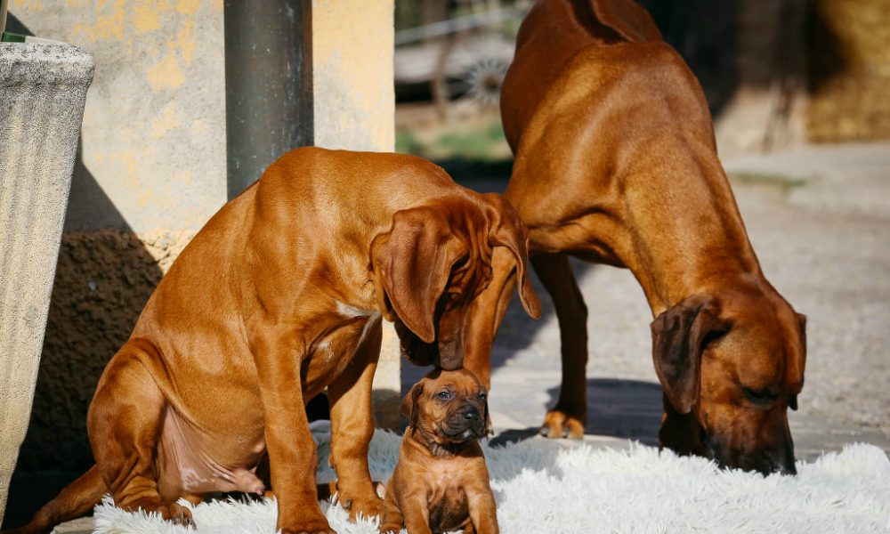 Rhodesian Ridgeback: un cane super agile