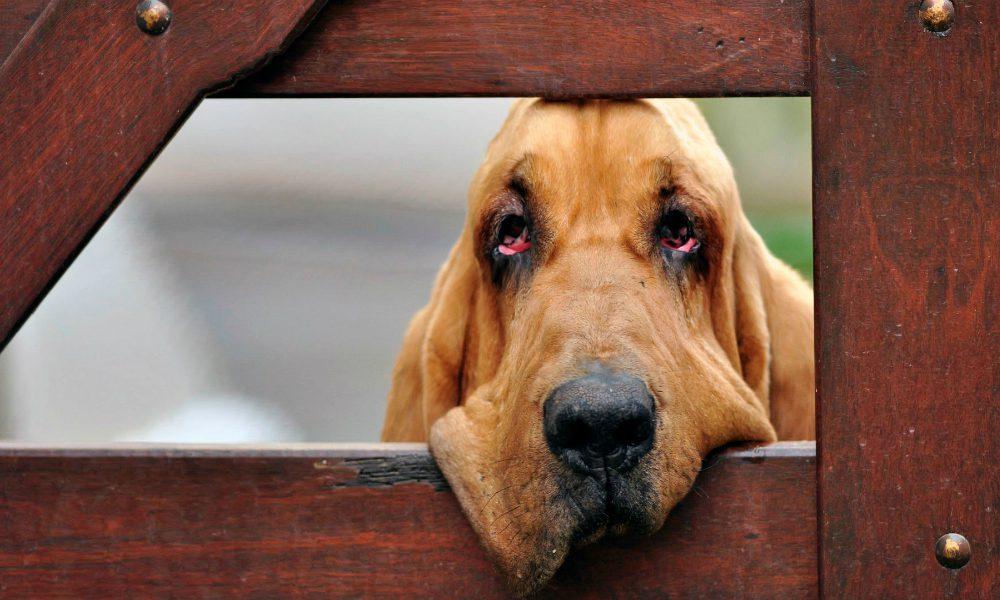 Bloodhound: il cane molecolare per eccellenza