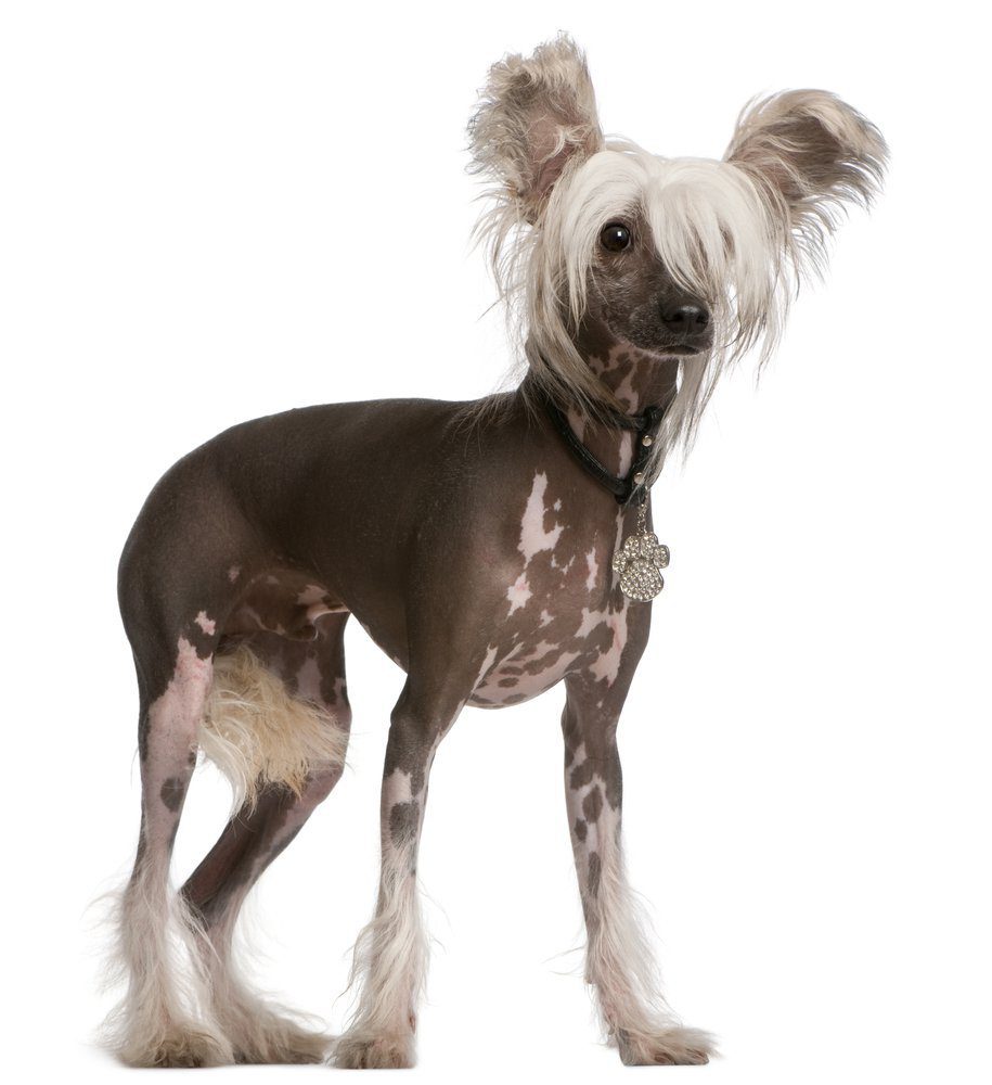 Chinese Crested Dog: i cani super chic