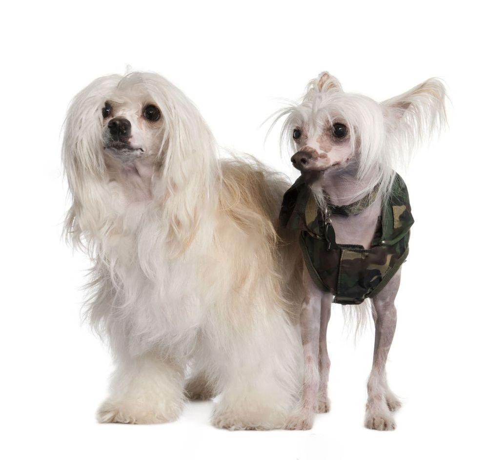 Chinese Crested Dog: i cani super chic