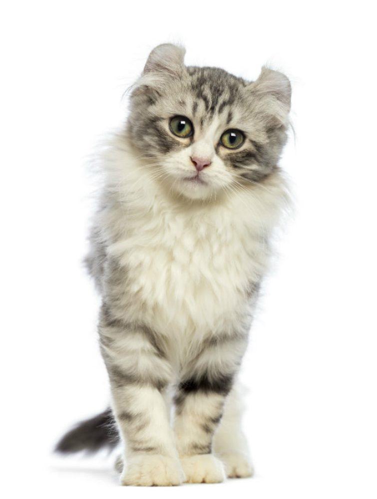 American Curl: il gatto dalle orecchie arricciate