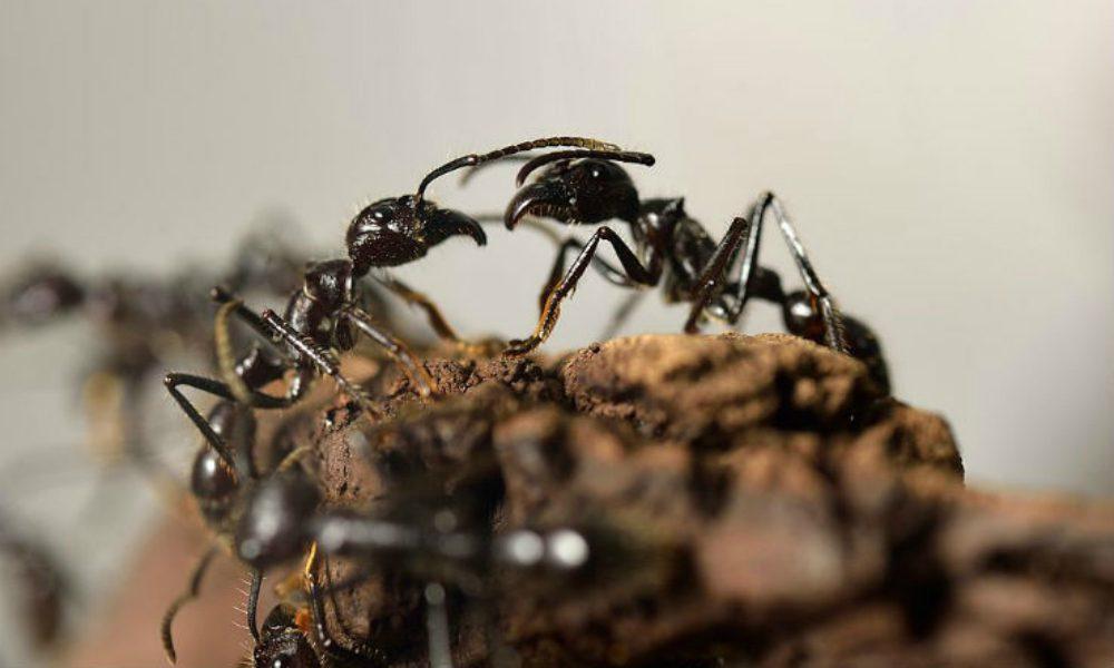 Il bacio delle formiche: una nuova incredibile scoperta