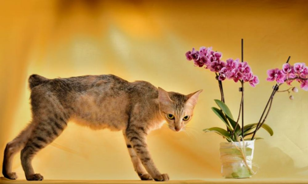 Khmer cambogiano: un gatto speciale e anallergico