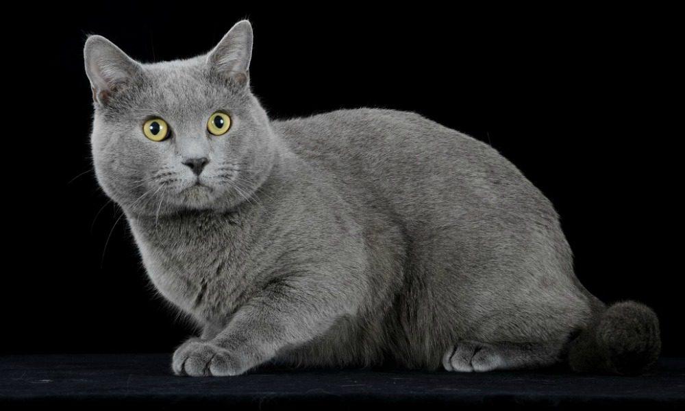 """Certosino: 5 caratteristiche che vi faranno innamorare del """"re dei gatti"""""""
