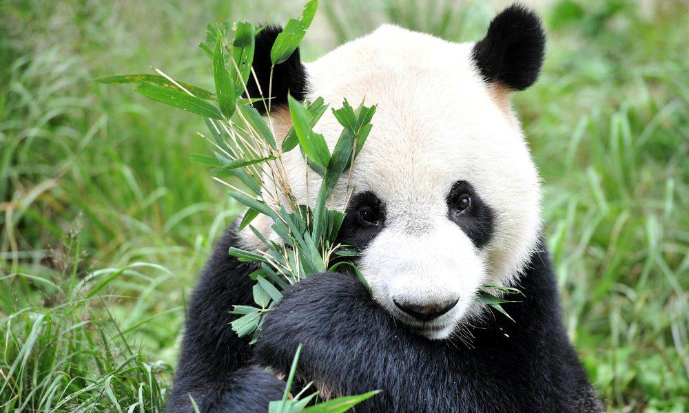 Perché i panda hanno il pelo a macchie bianche e nere? Un interessante studio lo svela