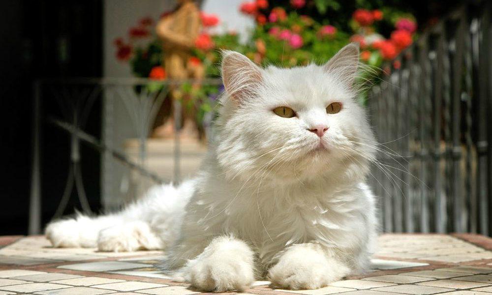 Gatto Bianco: il micio albergatore [INTERVISTA]
