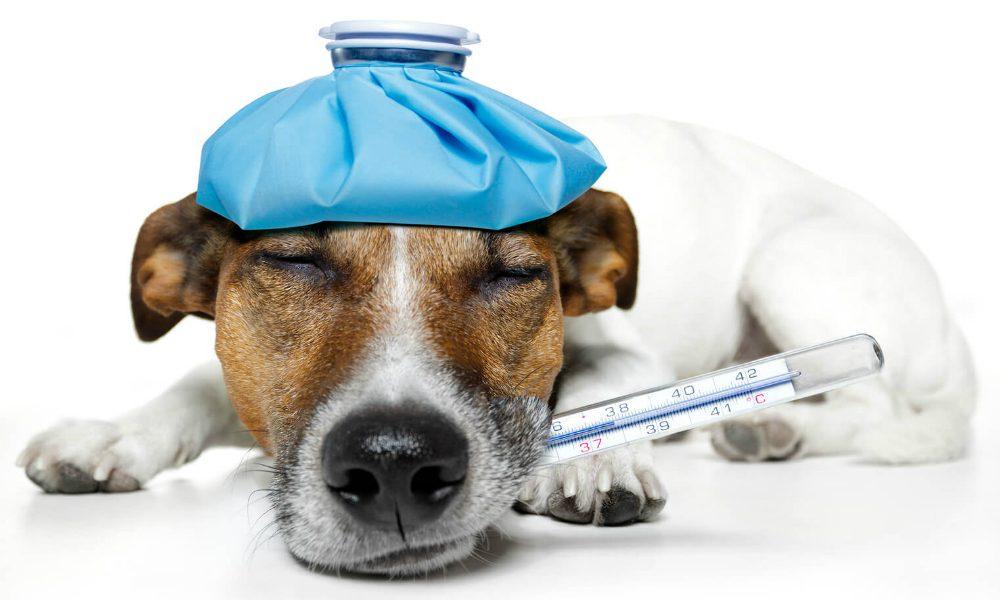 """""""L'Esperto risponde"""": la febbre del cane"""