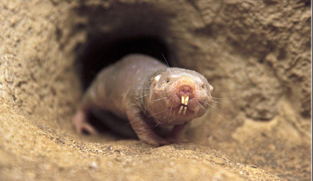 Eterocefali glabri: animali da record [VIDEO]