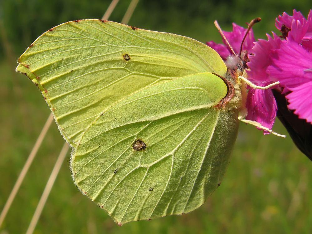 Farfalle: quanto vivono