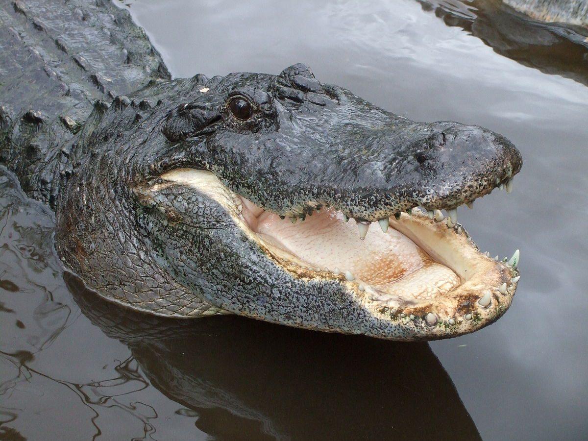 Coccodrillo e alligatore: differenze