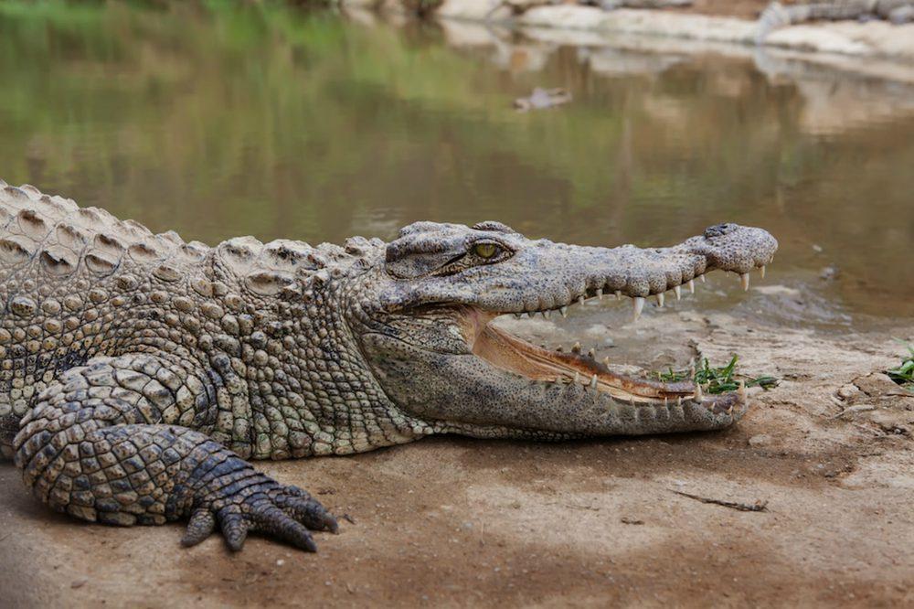 Coccodrillo: scheda del rettile