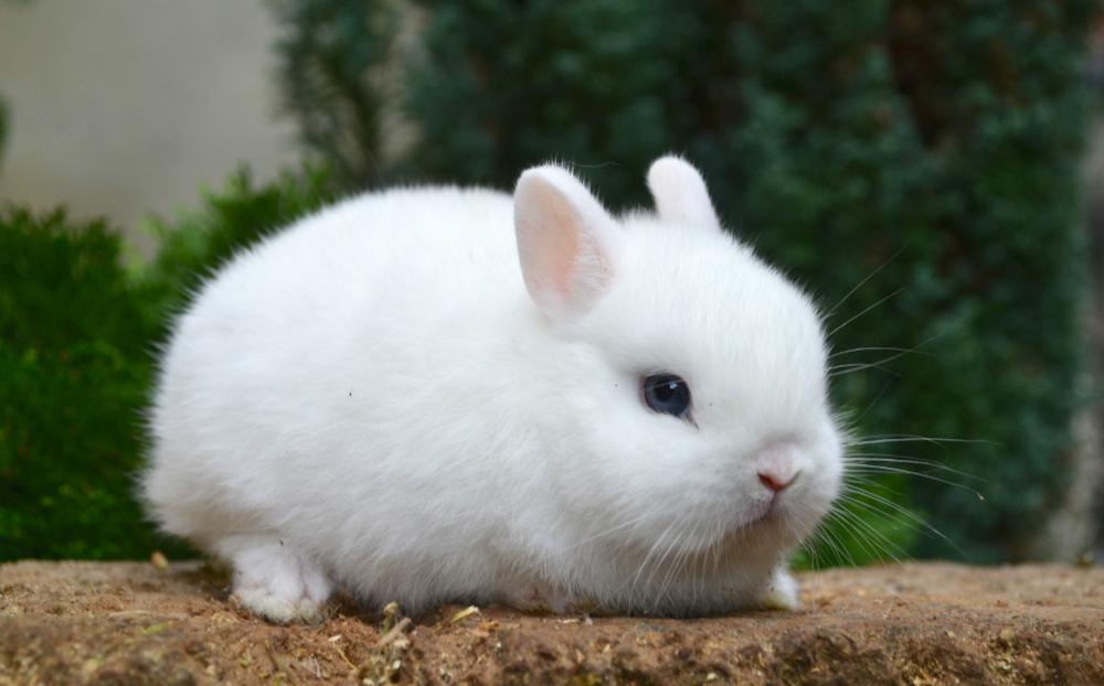 coniglio nano: scheda dell'animale - velvetpets