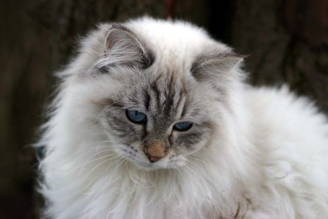 Gatto siberiano: scheda del felino