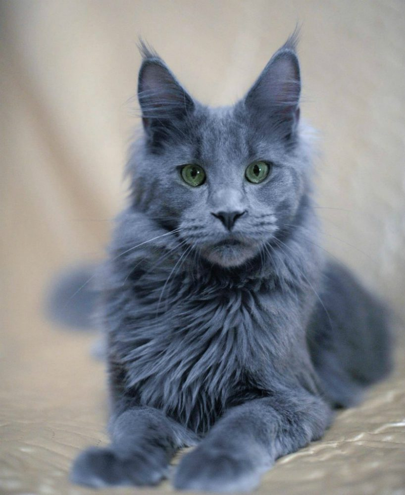 Russian Blue Cat  Months