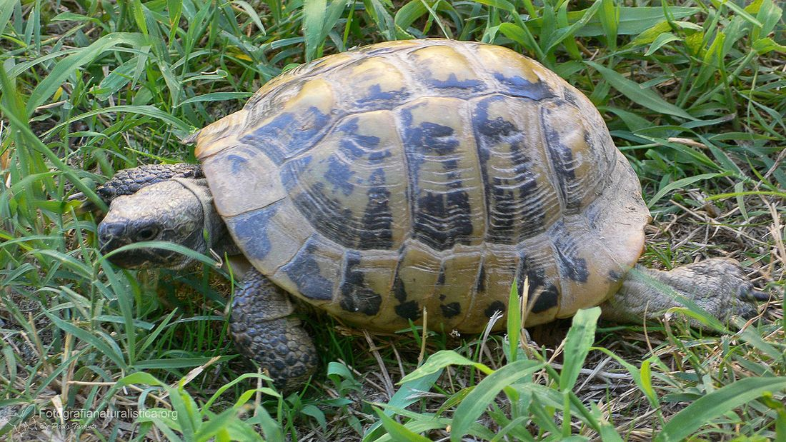 Tartarughe di terra come riconoscere il sesso velvetpets for Tartaruga di terra maschio o femmina