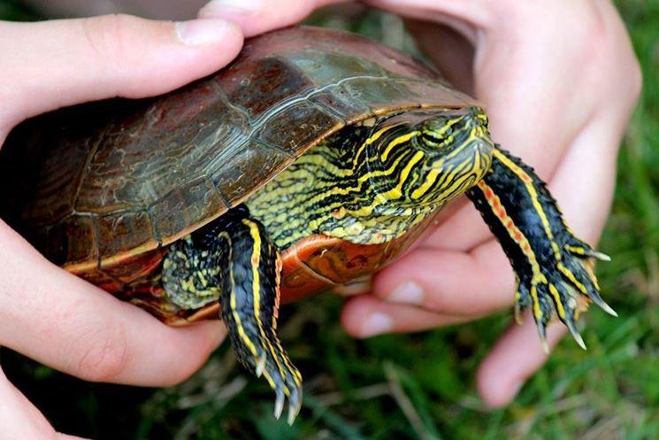 Tartarughe d acqua domestiche come averne cura velvetpets for Acqua tartarughe